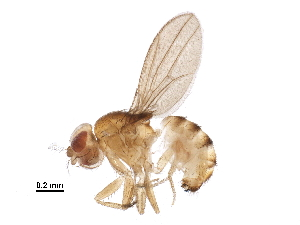 (Drosophila leontia - BIOUG14643-E12)  @11 [ ] CreativeCommons - Attribution Non-Commercial Share-Alike (2016) CBG Photography Group Centre for Biodiversity Genomics