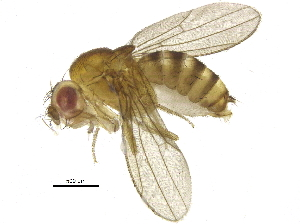(Drosophila bocki - BIOUG14644-A12)  @13 [ ] CreativeCommons - Attribution Non-Commercial Share-Alike (2015) BIO Photography Group Biodiversity Institute of Ontario