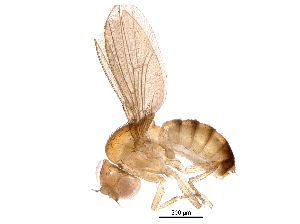 (Drosophila mimetica - BIOUG14922-D02)  @11 [ ] CreativeCommons - Attribution Non-Commercial Share-Alike (2016) CBG Photography Group Centre for Biodiversity Genomics
