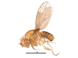 (Drosophila bicornuta - BIOUG15138-C02)  @11 [ ] CreativeCommons - Attribution Non-Commercial Share-Alike (2016) CBG Photography Group Centre for Biodiversity Genomics