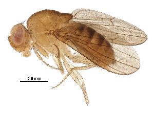 (Drosophila signata - BIOUG16245-C06)  @11 [ ] CreativeCommons - Attribution Non-Commercial Share-Alike (2016) CBG Photography Group Centre for Biodiversity Genomics