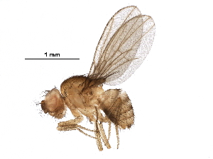 (Drosophila birchii - BIOUG30614-H09)  @11 [ ] CreativeCommons - Attribution Non-Commercial Share-Alike (2017) CBG Photography Group Centre for Biodiversity Genomics