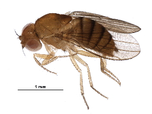(Drosophila mayri - BIOUG30724-C11)  @11 [ ] CreativeCommons - Attribution Non-Commercial Share-Alike (2017) CBG Photography Group Centre for Biodiversity Genomics