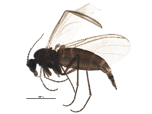 (Bradysia - BIOUG16257-F08)  @14 [ ] CreativeCommons - Attribution Non-Commercial Share-Alike (2015) BIO Photography Group Biodiversity Institute of Ontario