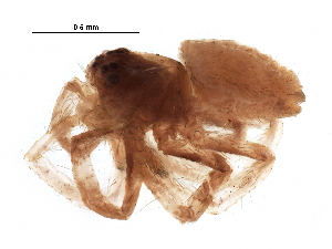(Philodromus minutus - BIOUG24400-A12)  @13 [ ] CreativeCommons - Attribution Non-Commercial Share-Alike (2016) CBG Photography Group Centre for Biodiversity Genomics