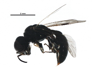 (Crossocerus annulipes - BIOUG22096-G10)  @14 [ ] CreativeCommons - Attribution Non-Commercial Share-Alike (2016) BIO Photography Group Biodiversity Institute of Ontario