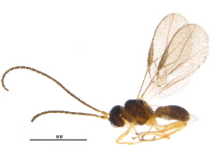 (Opiinae - BIOUG15866-D03)  @15 [ ] CreativeCommons - Attribution Non-Commercial Share-Alike (2015) CBG Photography Group Centre for Biodiversity Genomics