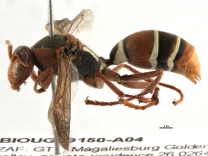(Polistes marginalis - BIOUG09150-A04)  @15 [ ] CreativeCommons - Attribution Non-Commercial Share-Alike (2014) BIO Photography Group Biodiversity Institute of Ontario