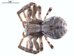 (Xysticus labradorensis - ZA2011-1106)  @14 [ ] Copyright  G. Blagoev 2011 Unspecified