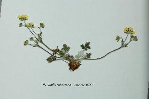(Potentilla rubricaulis - ZA2012-1002)  @11 [ ] Copyright (2013) Tomas Roslin University of Helsinki