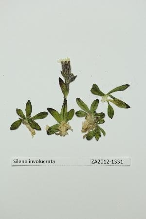 (Silene involucrata - ZA2012-1331)  @11 [ ] Copyright (2013) Tomas Roslin University of Helsinki