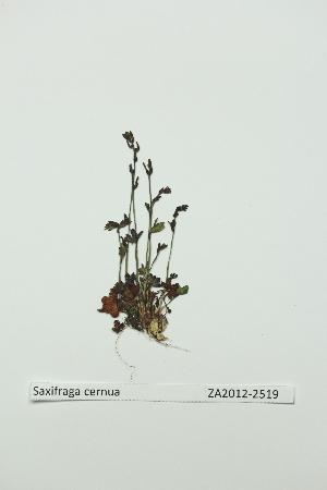 (Saxifraga cernua - ZA2012-2519)  @11 [ ] Copyright (2013) Tomas Roslin University of Helsinki