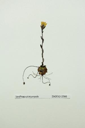 (Saxifraga platysepala - ZA2012-2566)  @11 [ ] Copyright (2013) Tomas Roslin University of Helsinki