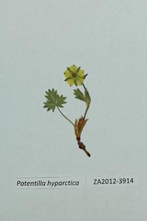 (Potentilla hyparctica - ZA2012-3914)  @11 [ ] Copyright (2013) Tomas Roslin University of Helsinki