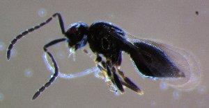 (Megaspilidae - ZA2012-4285)  @12 [ ] Copyright (2014) Tomas Roslin University of Helsinki