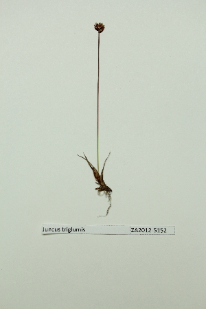 (Juncus albescens - ZA2012-5152)  @11 [ ] Copyright (2013) Tomas Roslin University of Helsinki