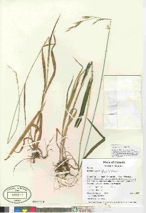 (Bromus vulgaris - 07-JMS-1169)  @11 [ ] Copyright (2010) Canadian Museum of Nature Canadian Museum of Nature