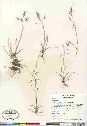 (Poa pratensis ssp colpodea - 07-JMS-1326)  @11 [ ] Copyright (2010) Canadian Museum of Nature Canadian Museum of Nature
