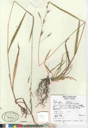 (Bromus marginatus - 07-JMS-1151)  @11 [ ] Copyright (2010) Canadian Museum of Nature Canadian Museum of Nature