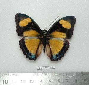 (Euphaedra jacksoni - BC-GVW0183)  @14 [ ] Unspecified (default): All Rights Reserved  Unspecified Unspecified