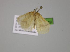 ( - BC ZSM Lep 00349)  @12 [ ] Copyright (2010) Unspecified Bavarian State Collection of Zoology (ZSM)