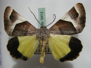 (Geometridae - BC ZSM Lep 16412)  @17 [ ] Copyright (2010) Unspecified Bavarian State Collection of Zoology (ZSM)