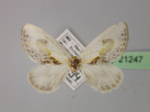( - BC ZSM Lep 21247)  @11 [ ] Copyright (2010) Unspecified Bavarian State Collection of Zoology (ZSM)
