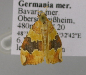 ( - BC ZSM Lep 21349)  @13 [ ] Copyright (2010) Unspecified Bavarian State Collection of Zoology (ZSM)
