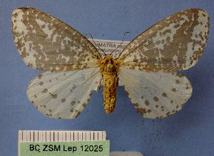 (Abraxas leucoloepa - BC ZSM Lep 12025)  @13 [ ] Copyright (2010) Unspecified Bavarian State Collection of Zoology (ZSM)