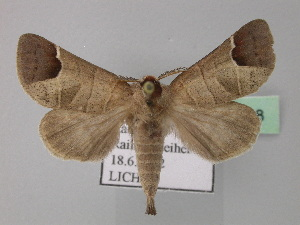 (Clostera curtula - BC ZSM Lep 31838)  @14 [ ] Copyright (2010) Axel Hausmann/Bavarian State Collection of Zoology (ZSM) SNSB, Zoologische Staatssammlung Muenchen