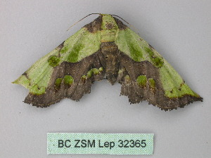 (Mittonia - BC ZSM Lep 32365)  @12 [ ] Copyright (2010) Unspecified Bavarian State Collection of Zoology (ZSM)