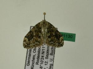 ( - BC ZSM Lep 01130)  @13 [ ] Copyright (2010) Unspecified Bavarian State Collection of Zoology (ZSM)