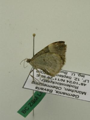 ( - BC ZSM Lep 01133)  @13 [ ] Copyright (2010) Unspecified Bavarian State Collection of Zoology (ZSM)