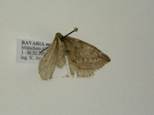 ( - BC ZSM Lep 01165)  @12 [ ] Copyright (2010) Unspecified Bavarian State Collection of Zoology (ZSM)