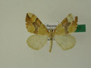 ( - BC ZSM Lep 01217)  @13 [ ] Copyright (2010) Unspecified Bavarian State Collection of Zoology (ZSM)