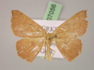 ( - BC ZSM Lep 07056)  @11 [ ] Copyright (2010) Unspecified Bavarian State Collection of Zoology (ZSM)
