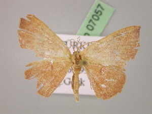 ( - BC ZSM Lep 07057)  @11 [ ] Copyright (2010) Unspecified Bavarian State Collection of Zoology (ZSM)