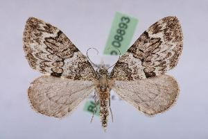 ( - BC ZSM Lep 08893)  @11 [ ] Copyright (2010) Unspecified Bavarian State Collection of Zoology (ZSM)