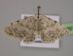 ( - BC ZSM Lep 12747)  @13 [ ] Copyright (2010) Unspecified Bavarian State Collection of Zoology (ZSM)