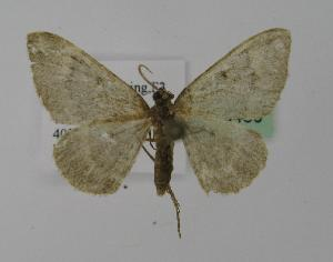 (Paraplaneta - BC ZSM Lep 13430)  @13 [ ] Copyright (2010) Unspecified Bavarian State Collection of Zoology (ZSM)