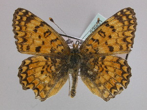 Melitaea phoebe telona, the old name
