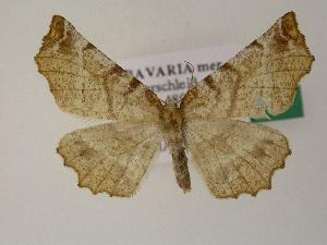 ( - BC ZSM Lep 01307)  @14 [ ] Copyright (2010) Unspecified Bavarian State Collection of Zoology (ZSM)