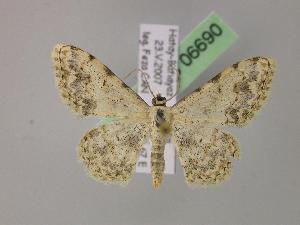 (Scopula submutata taurilibanotica - BC ZSM Lep 06690)  @15 [ ] Copyright (2010) Axel Hausmann/Bavarian State Collection of Zoology (ZSM) SNSB, Zoologische Staatssammlung Muenchen