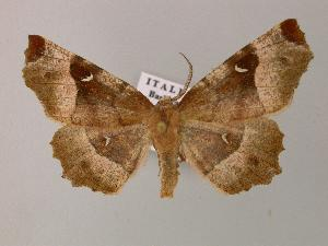 ( - BC ZSM Lep 14231)  @14 [ ] Copyright (2010) Unspecified Bavarian State Collection of Zoology (ZSM)