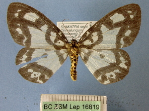 (Abraxas triseriata - BC ZSM Lep 16819)  @11 [ ] Copyright (2010) Unspecified Bavarian State Collection of Zoology (ZSM)