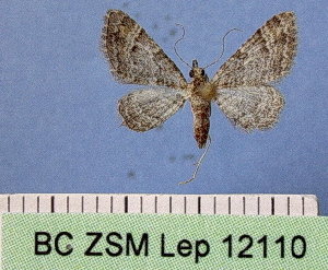 ( - BC ZSM Lep 12110)  @12 [ ] Copyright (2010) Unspecified Bavarian State Collection of Zoology (ZSM)