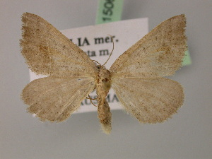 ( - BC ZSM Lep 15062)  @11 [ ] Copyright (2010) Unspecified Bavarian State Collection of Zoology (ZSM)