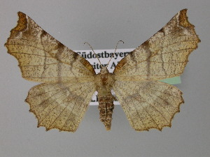 ( - BC ZSM Lep 24026)  @14 [ ] Copyright (2010) Unspecified Bavarian State Collection of Zoology (ZSM)