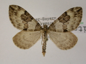 ( - BC ZSM Lep 03679)  @11 [ ] Copyright (2010) Unspecified Bavarian State Collection of Zoology (ZSM)