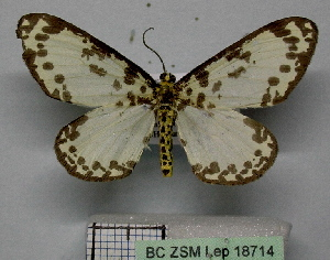 (Abraxas aequimargo - BC ZSM Lep 18714)  @11 [ ] Copyright (2010) Axel Hausmann/Bavarian State Collection of Zoology (ZSM) SNSB, Zoologische Staatssammlung Muenchen